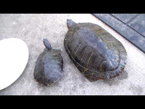 Red Eared Slider Turtle - 12