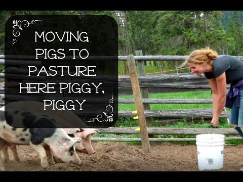 Moving pigs to pasture - How to convince a pig to cross the line!