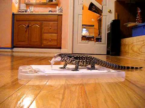 5 Month Old Argentine Black and White Tegu Eating