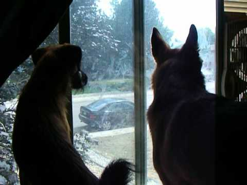 Two dogs howling and barking in the window