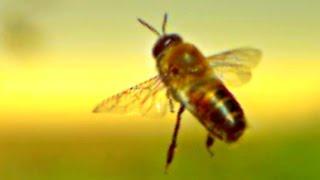 Incredible Honey Bees At 25,000 Fps  - Slow Mo Lab