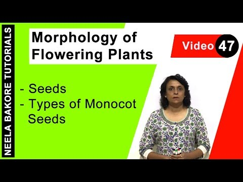 Morphology of Flowering Plants - Seeds - Types of Monocot Seeds
