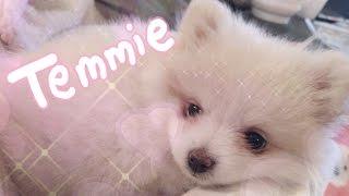 ♡ TEMMIE - my pomeranian puppy ♡