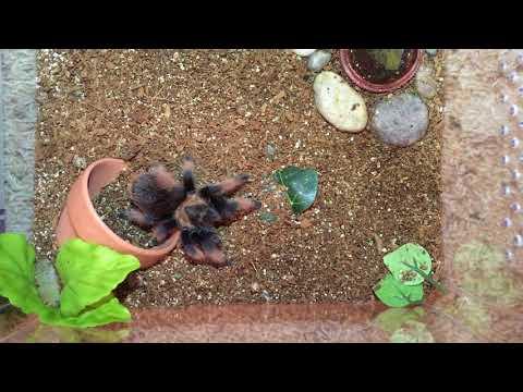 Tarantula Feeding Short No. 2