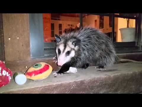Opossum (possum) Visiting Our Porch