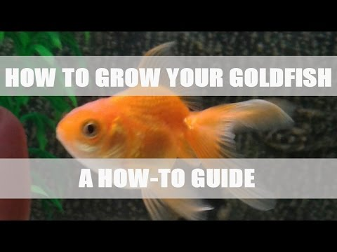 How to grow your Goldfish!