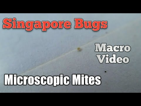 Singapore Bugs Microscopic Mites that live in your house