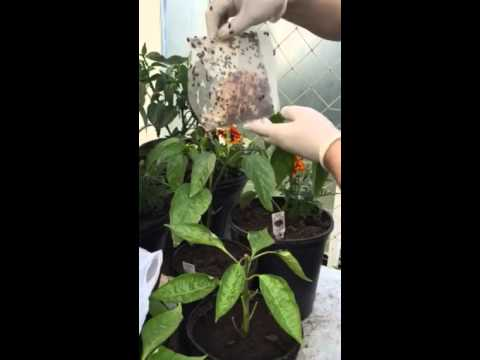 How to get rid of aphids of the pepper plants