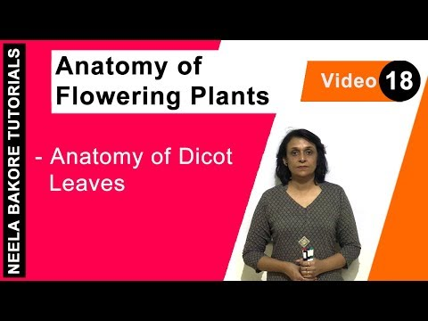 Anatomy of Flowering Plants - Anatomy of Dicot Leaves
