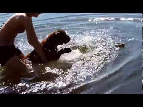 Boxer Dog Jeka - Learn to swim