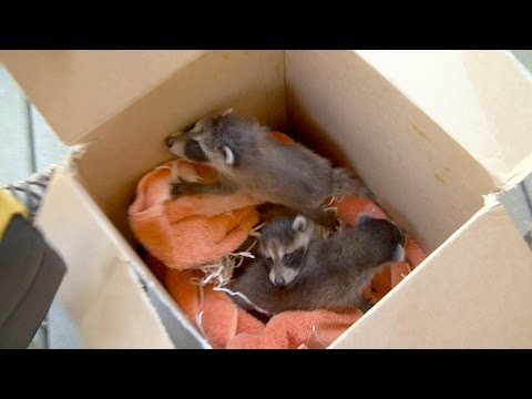 Three Baby Raccoons Rescued, Sent to Rehabilitation Service