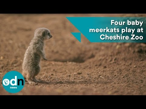 Four baby meerkats jump and play at Cheshire Zoo