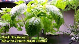 Back To Basics How To Prune Basil Plants