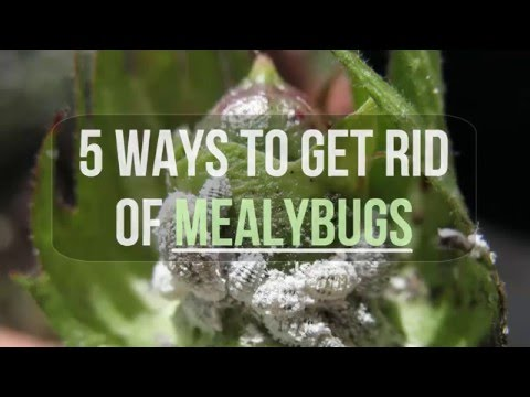 5 Ways to Get Rid of Mealybugs