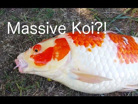 Catching MASSIVE Koi in Boston?!