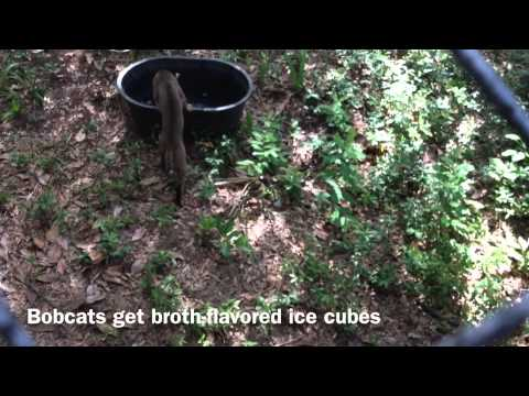 Oatland's cats and wolves beat the heat