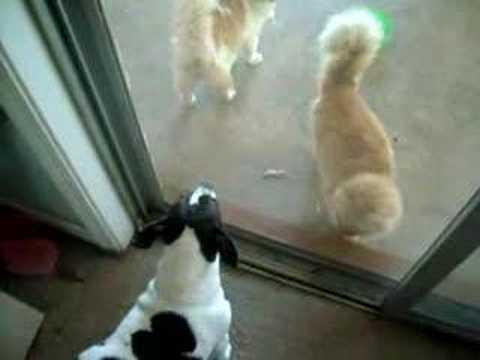 dog barking at cats