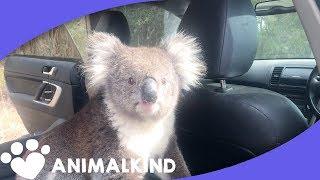 Koala Leaps Into Car. Scares Man And His Dog | Animalkind