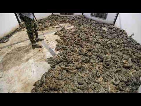 Xxx Mp4 Man Finds 45 Venomous Rattlesnakes Under House 3gp Sex