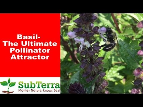 Attract Bees and Other Pollinators to Your Garden With Basil!