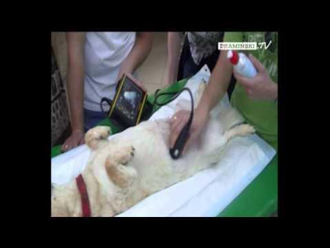 DRAMIŃSKI DogScan - przenośny ultrasonograf / portable ultrasound scanner