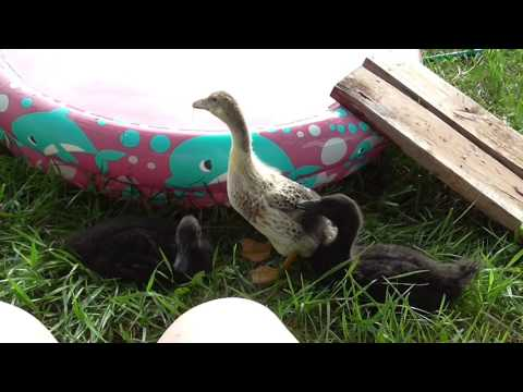 14. Duckies Playing in the Water