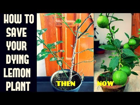How To Save Your Dying Lemon Plant/Common Lemon Plant Problems N Their Cure