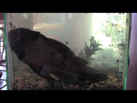 my HUGE 13 year old plecostomus fish!