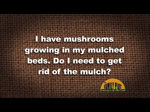 Q&A - I have mushrooms in my mulch. Do I need to get rid of it?
