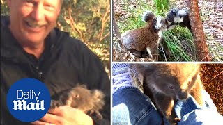 Lost baby koala clings to man's leg before finding mother - Daily Mail