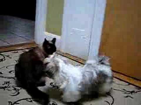 shih tzu vs siamese cat