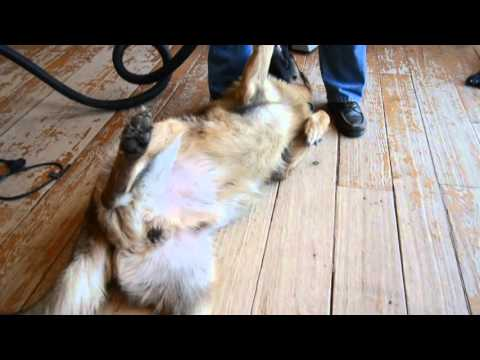 How to deal with German Shepherd Shedding-lazy man's life hacks