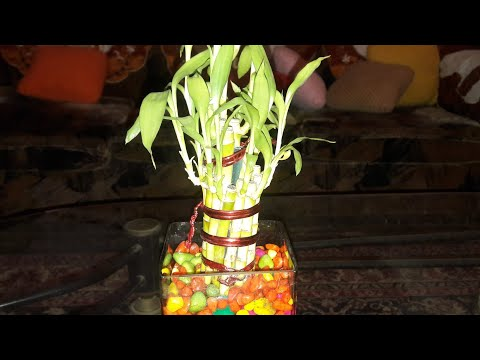 How to save a dying Lucky Bamboo plant || 2nd Nov ,2017