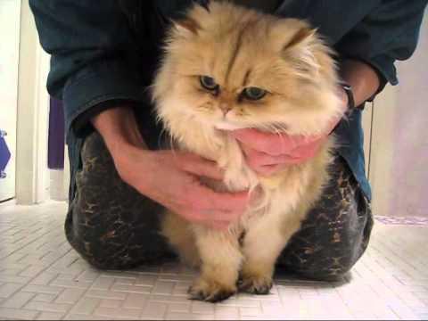 Persian Cat Eye Maintenance