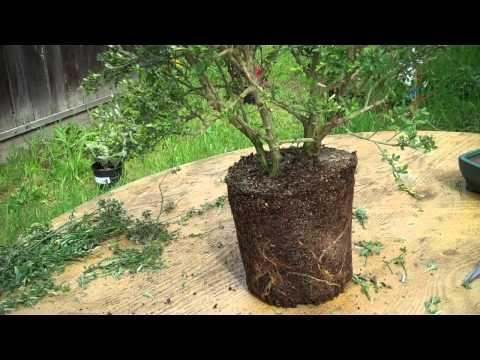 How to create bonsai from nursery plant Sweet Broom Part 2 Root Pruning & potting