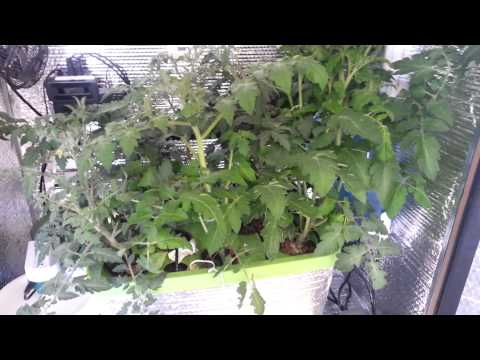 Accelerated Technologies Stanley 336 PRO Tomato Grow Week 6