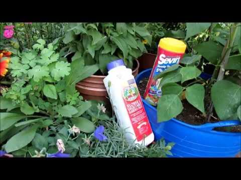 Using Insect Dust on Cucumbers, Squash & Eggplant: Vine Borers, Squash Bugs, Cucumber & Flea Beetles