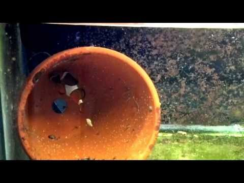 Clownfish Laying Eggs, Breeding Day 1, Batch 2