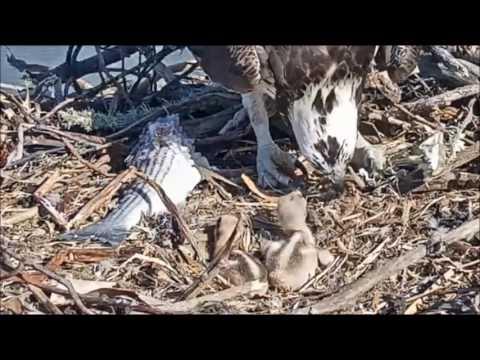 Rosie steps on osprey chick May 15, 2017