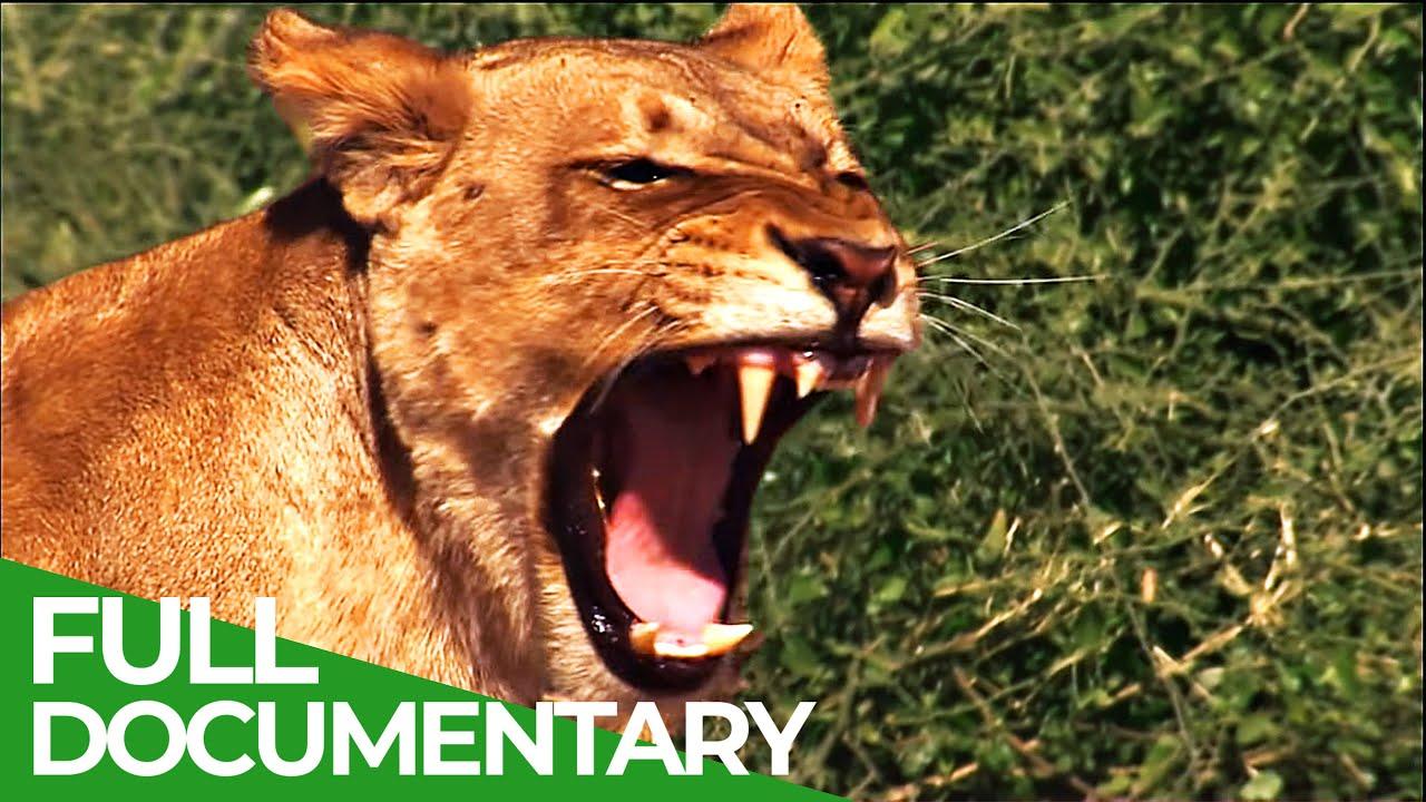 Lions vs. Elephants - Life on the Edge   Free Documentary Nature