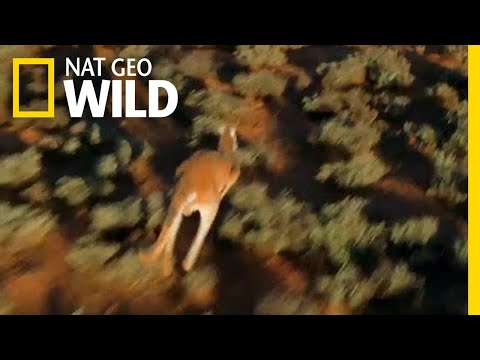 For Kangaroos, the Mating Game is Dangerous | Nat Geo Wild