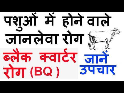 Black Quarter Disease in Cows in Hindi | ब्लैक क्वार्टर रोग एवं उसके उपचार
