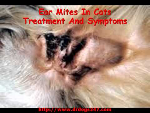 Ear Mites In Cats Treatment And Symptoms