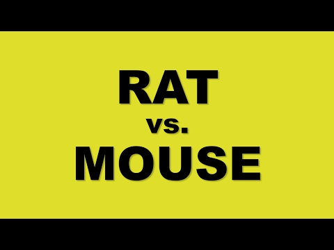 What is the difference between mice and rats? Rat vs Mouse