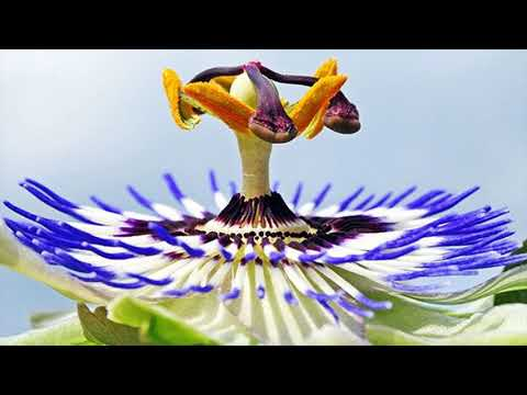 Effective Folk Remedy For Stress Is Passionflower - How To Use Passionflower For Stress Relief