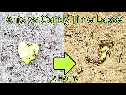 Time Lapse Ants Eating Heart Candy