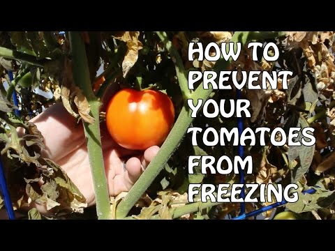 How to Prevent Your Tomatoes From Freezing