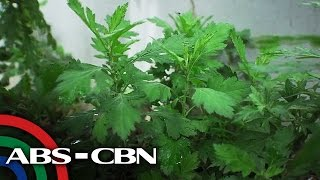 4 Likas Lunas|Serpentina - Healing wonder plant _Tagalog English
