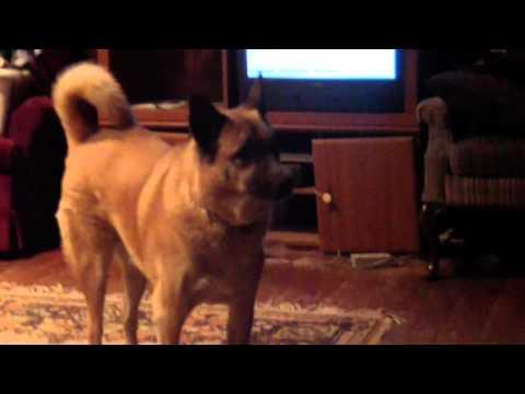 Dog barks at tv