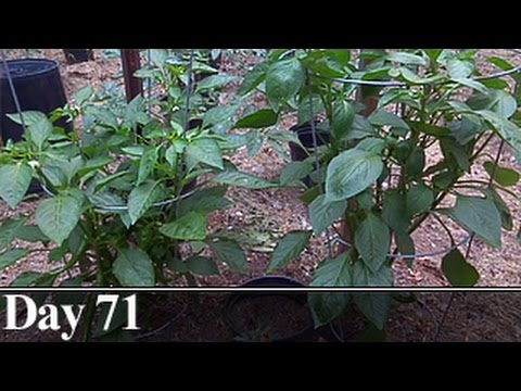 Pepper Plant Pruning Comparison, Day 71